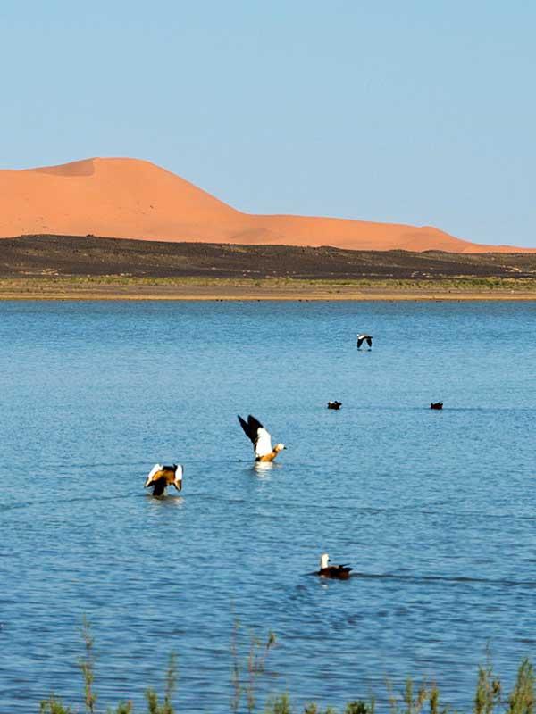 Flamants roses sur le lac Dayet Srij dans le Sahara marocain.
